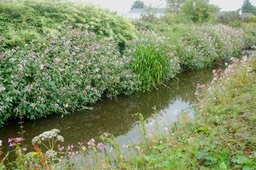 Invasives Himalayan Balsam bank erosion