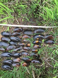 Monitoring FPM demography, good range of adult and juvenile mussels
